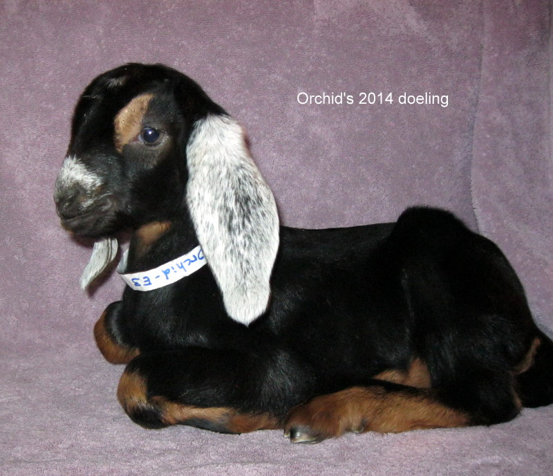 Orchid's 2014 doeling at 6 days old